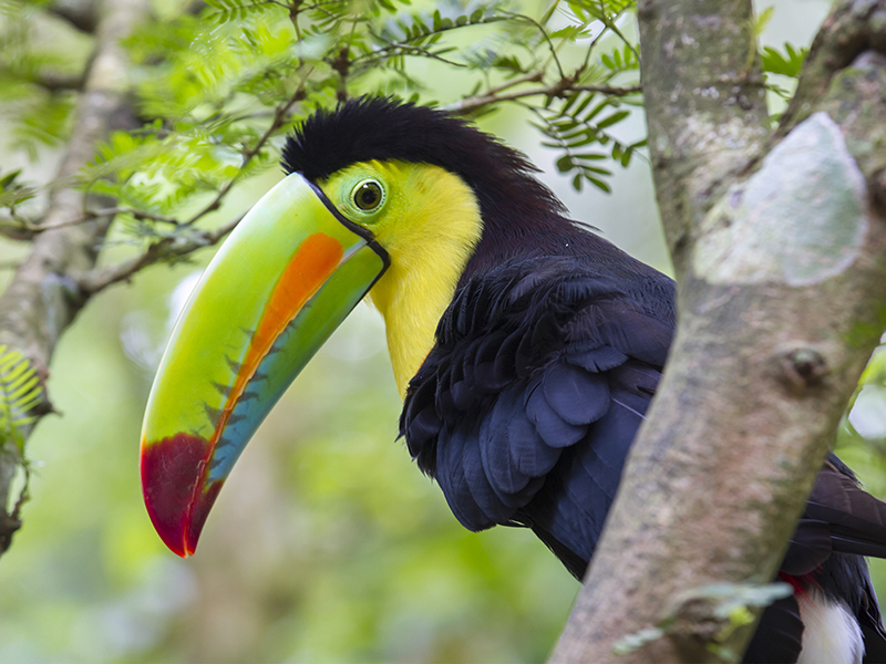 Keel-Billed Toucan, Limon, Costa Rica.